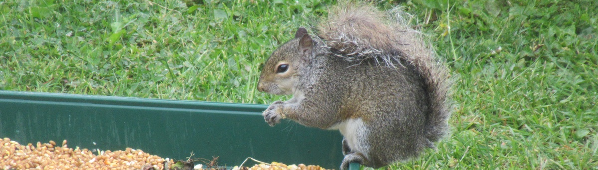 Squirrel Control Shipston-on-Stour